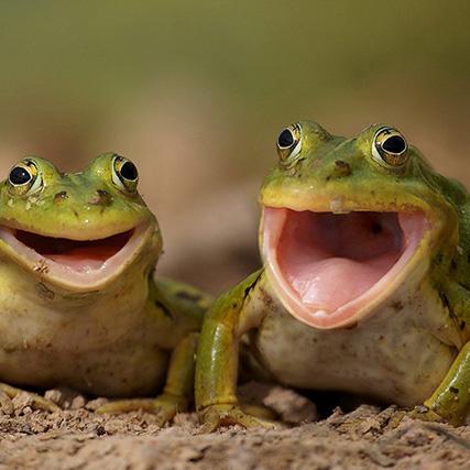 Звуки лягушек