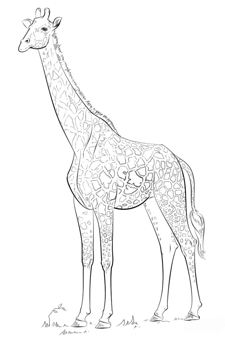 Раскраска Гордый жираф распечатать или скачать бесплатно