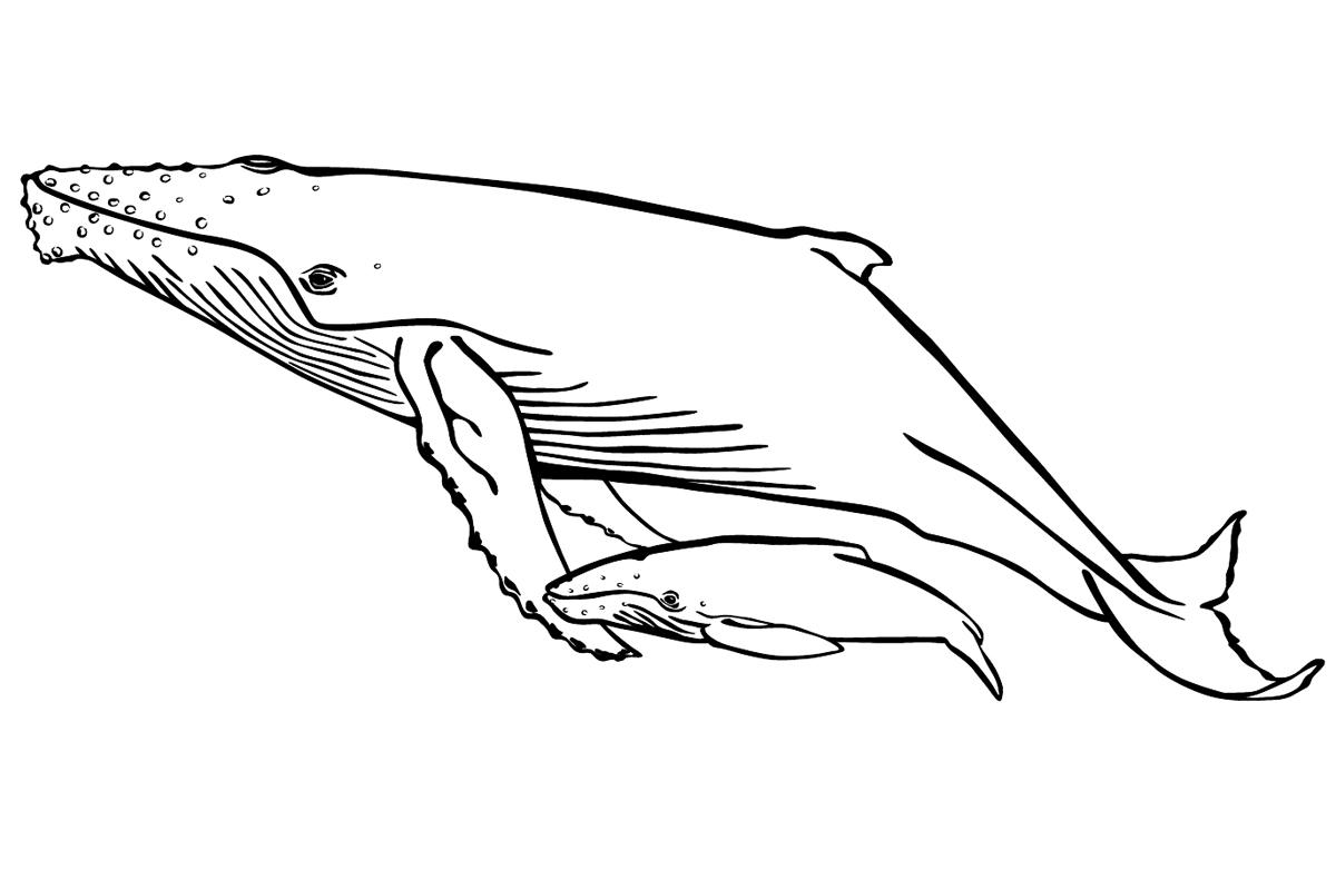 Раскраска Горбатый кит распечатать или скачать бесплатно
