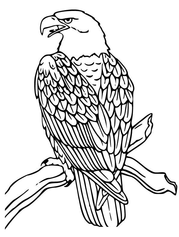 Раскраска Орел на ветке распечатать или скачать бесплатно