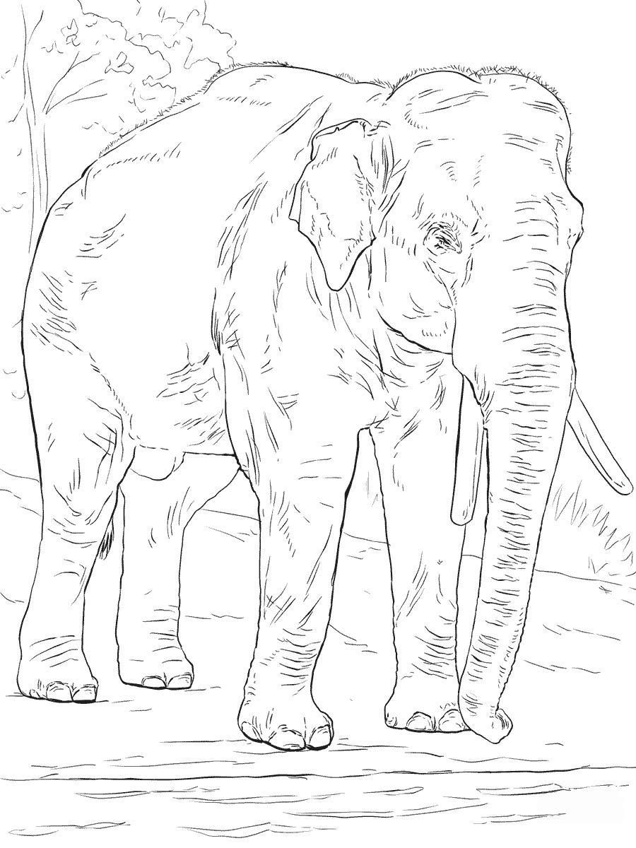 Раскраска Азиатский слон распечатать или скачать бесплатно