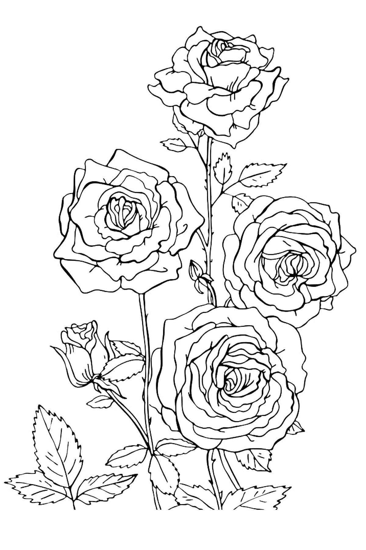 Раскраска Розы распечатать или скачать бесплатно