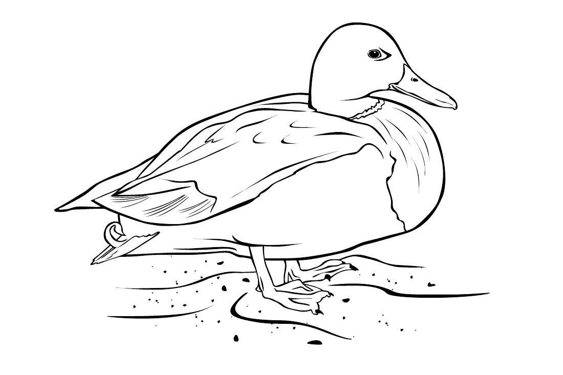 раскраска утка распечатать или скачать бесплатно